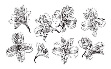 Hand drawn illustration with Peruvian lily flowers