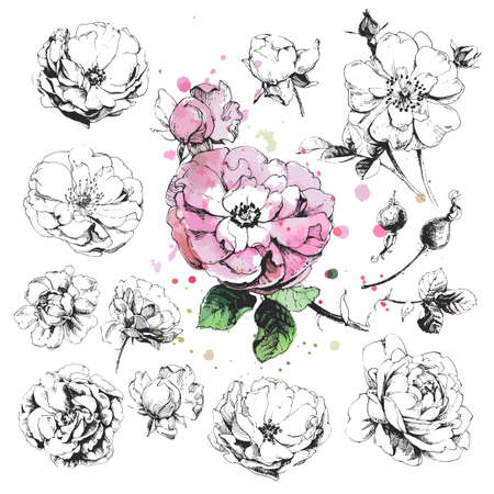 Hand drawn illustrations of wild rose flowers, briar drawings isolated on white background