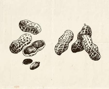 Vintage drawings of peanuts, hand drawn food illustration 矢量图像