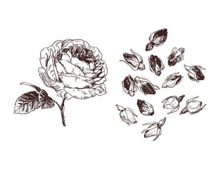 Herbal tea illustration. Tea rose buds vintage drawing 矢量图像