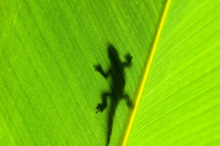 Gecko silhouette on backlight leaf Stock Photo - 13420949