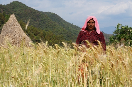 DHAMPUS, NEPAL - MARCH 26 : An unidentified local farmer standing in her barley field on March 26, 2013 in Dhampus, Nepal. Most of the Nepalese depend upon Agriculture for there livelihood.                                Editorial