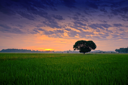 lonely tree in the middle of paddy field during sunrise. Stock Photo
