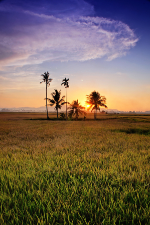 silhouette of coconut tree on paddy field during sunset.Soft focus due to long exposure shot.Composition of nature.