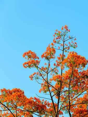 orange blossom: Orange blossom tree with a sky background.