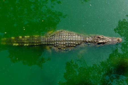 alligator eyes: Crocodile floating in the water view from the top