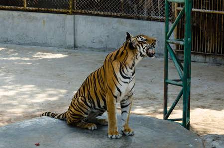 tigresa: Los Tigres est�n mirando hacia arriba en algo Foto de archivo