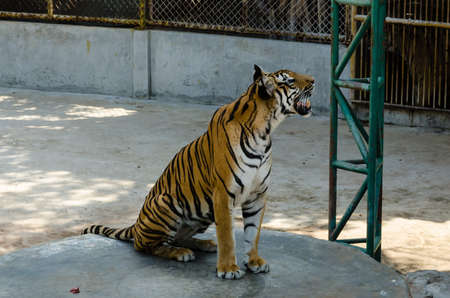 tigress: The Tigers are looking up at something