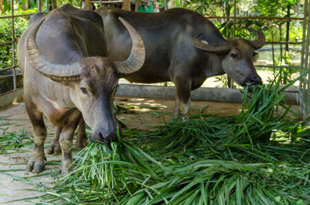 buffalo grass: Buffalo had long eating grass Stock Photo