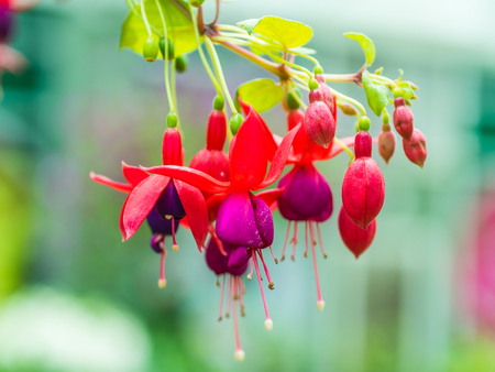 Beautiful fuchsia flowers Stock Photo