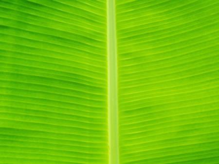 original ecological: closeup banana leaf