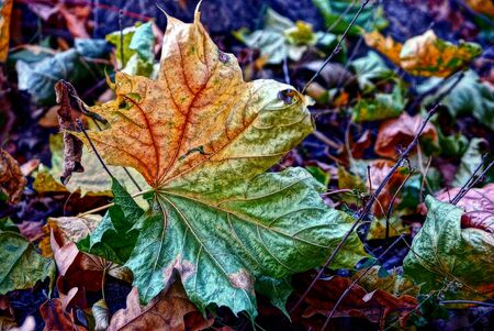 leafed: Dry leafed maple leaf on the grass