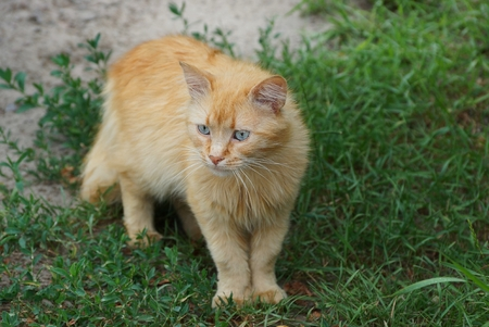 A red-haired cat stand among the green grass