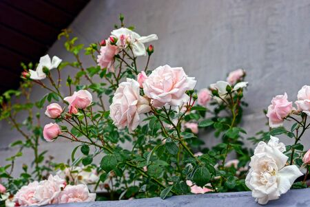 spiny: Bush with roses near the gray wall on a summer day