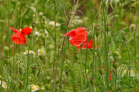 Red poppies and white daisies among greenery and grass in the field