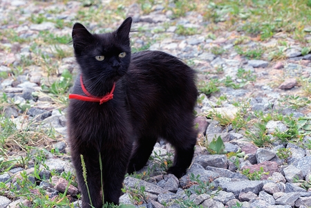Black cat with a red strap in the yard