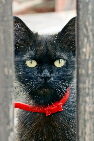 open windows: A black cat in a red collar looks through the gray fence boards