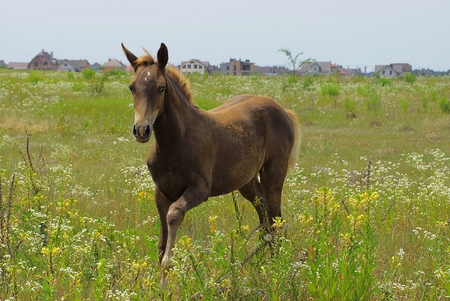 Little brown horse on a flowering meadow Stock Photo