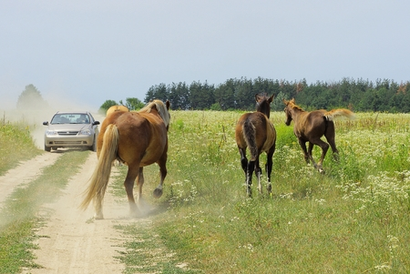 Herd of horses in a field on the road and a car