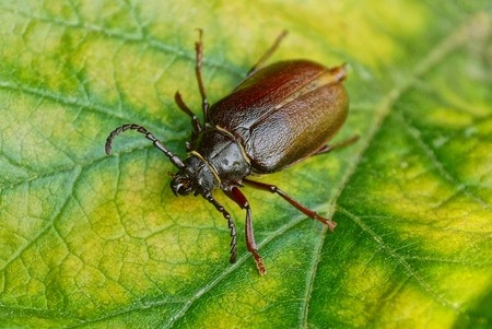 A large brown beetle on a fragment of a yellow green leaf