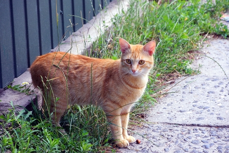 Red cat standing on the road in the grass near the green wall of the fence