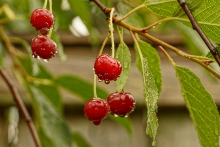gray pattern: Red cherries with water drops on branch with green leaves