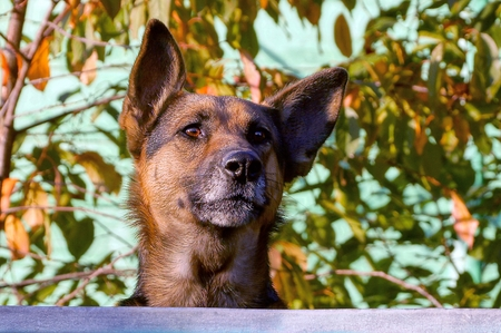 A large dog peeks over a fence in the background of leaves and twigs Stock Photo