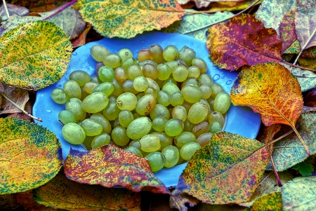 a plate with ripe grapes is on yellow leaves Stock Photo