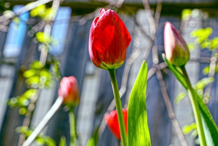 red tulip in a spring garden on a sunny day