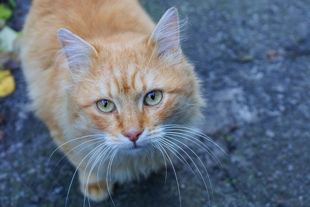 red fluffy cat sitting and looking at the street on the asphalt