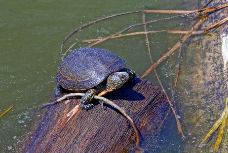 a small turtle sits on a brown log in the water