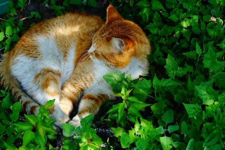 big red cat sleeps in green grass and leaves Stock Photo