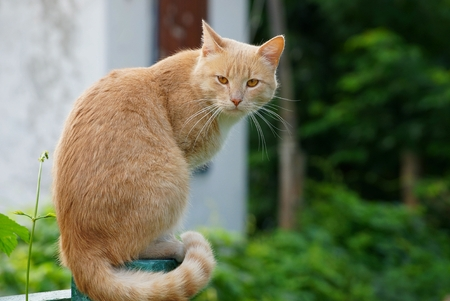 A big red cat sits on a fence post near green vegetation Stock Photo