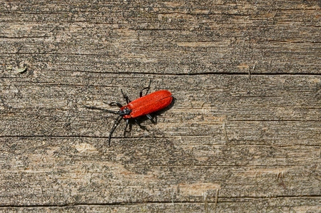 small red beetle sits on a gray wooden board Stock Photo