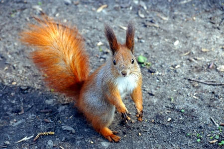 red squirrel stands on the ground in nature