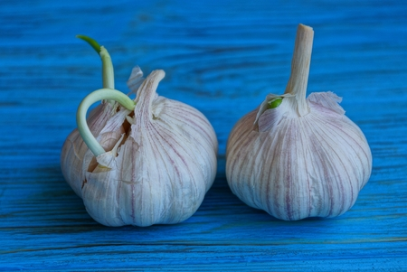 two white fresh garlic on a blue table