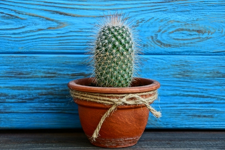 long green cactus in a brown pot near the blue wall