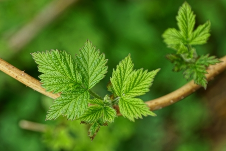green leaves on raspberry branch