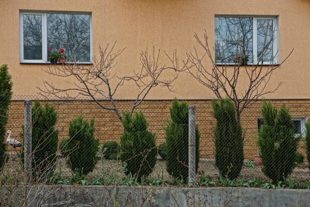 two windows on the brown wall of the house and green coniferous ornamental trees along the fence of the iron mesh