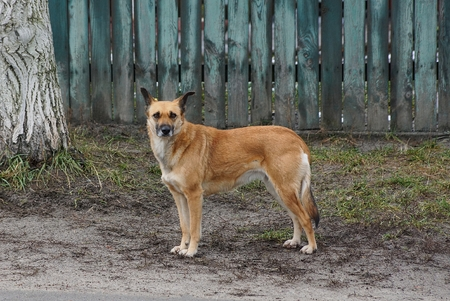a large brown dog stand Imagens