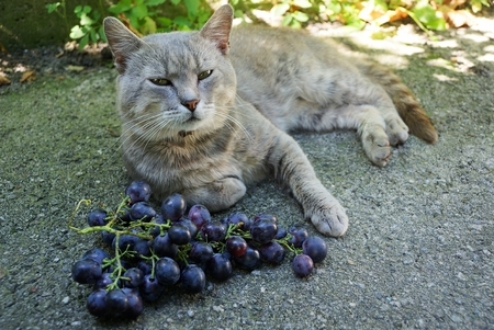 A gray cat lays on the asphalt next to the blue berries of ripe grapes