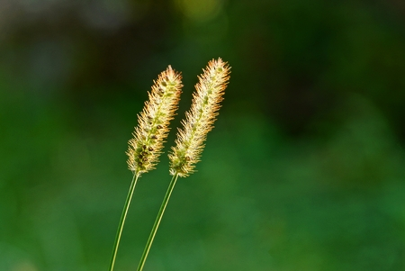 two small wild blades of grass in the sunlight