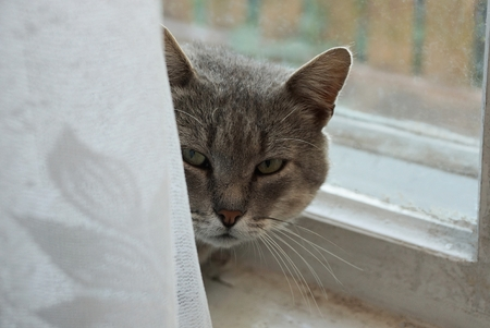 gray cat behind a white curtain at the window