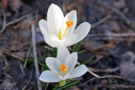 two small white crocus flowers outdoors in the garden