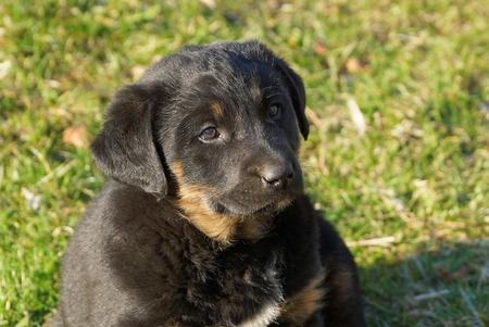 a little black brown puppy