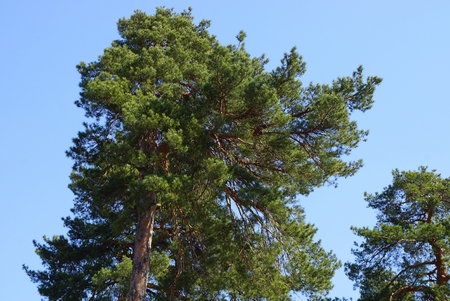 green coniferous pine against a blue sky Stock Photo