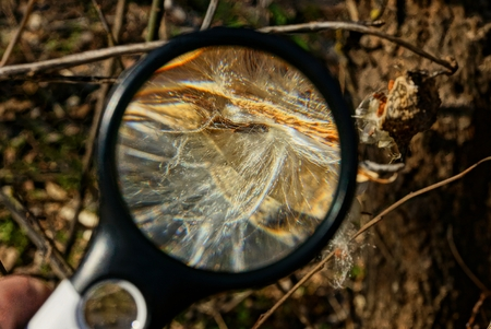 magnifier increases white fluff on a dry plant outdoors in nature