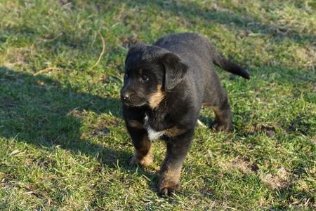 one little black brown puppy