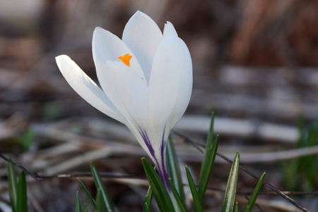 small white crocus flower outdoors in the garden