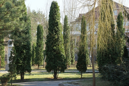 long green ornamental conifers in the park on a sunny spring day